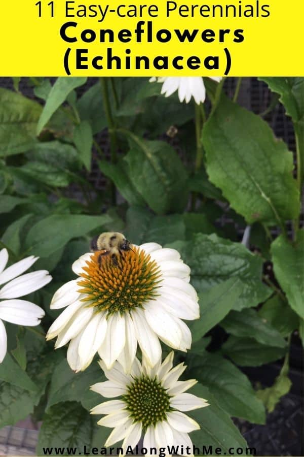 Coneflowers (Echinacea) are a beautiful blooming perennial flower that attracts bees and butterflies