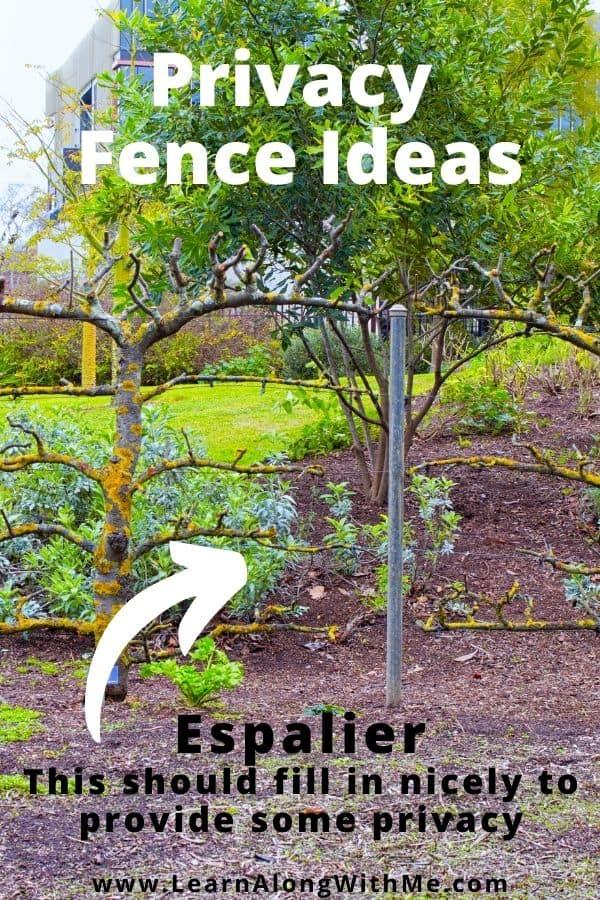 Privacy Fence Ideas - espalier. Training a tree to grow along a wall or framework