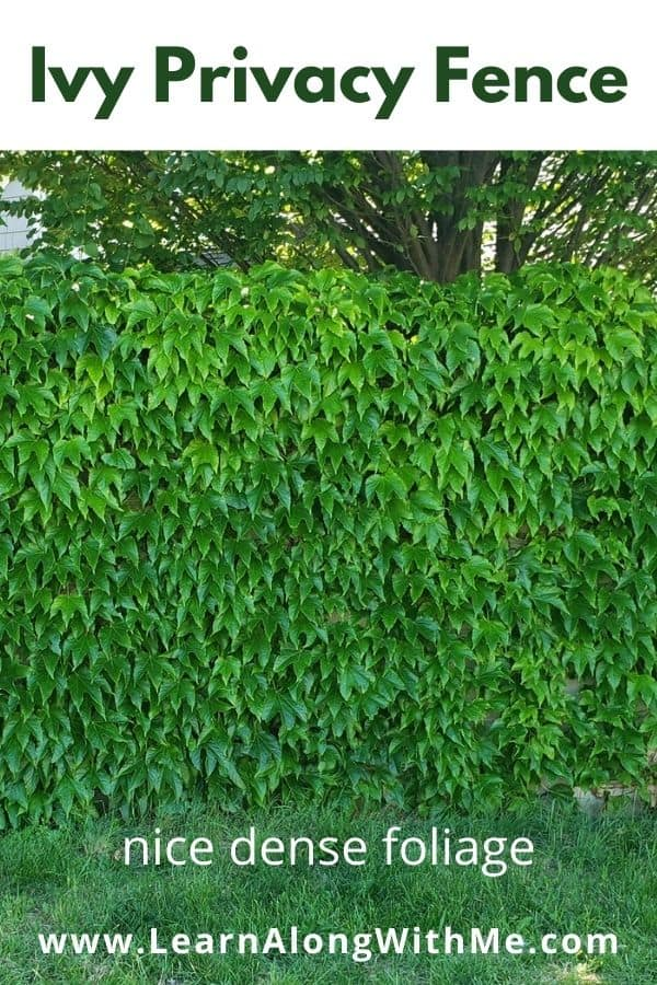 Ivy privacy fence idea - the dense foliage works well to block out the neighbours